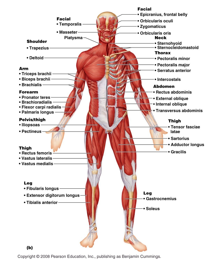 Muscular System: anatomy, biology, body, en, health, human, muscular ...