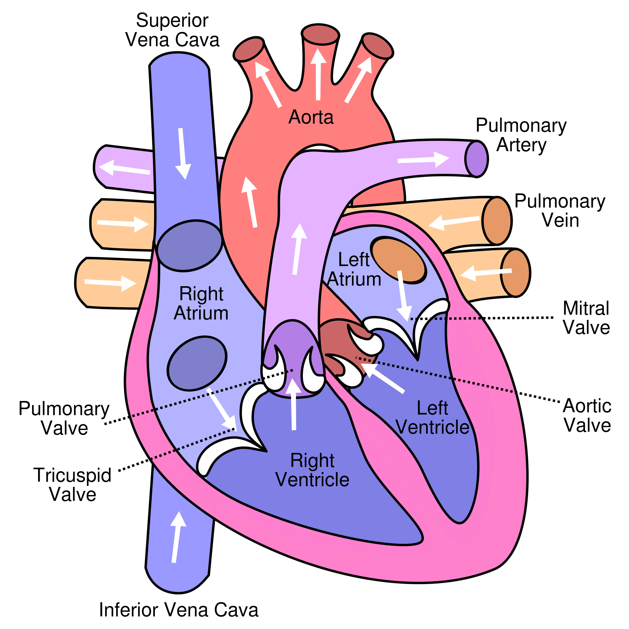 Human Anatomy: text, images, music, video | Glogster EDU ...